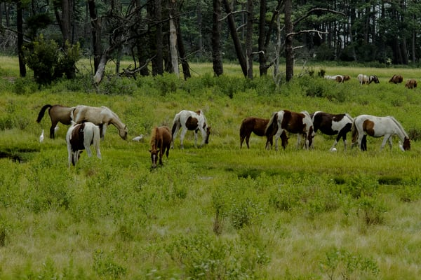 Fine Art Photographs of Assateague Ponies by Michael Pucciarelli