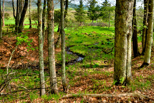 Fine Art Photograph of Canaan Valley Forest by Michael Pucciarelli