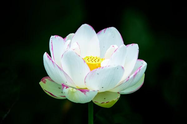 White Lotus Fine Art Photograph | JustBob Images