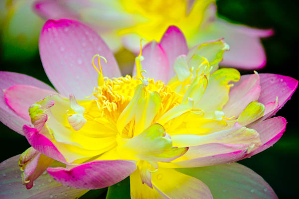 Lotus Delight Fine Art Photograph | JustBob Images
