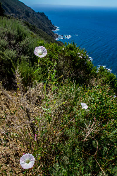 Morning Glory Flowers On Edge Of Cliff On Highway Photograph for Sale as Fine Art