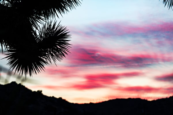 Joshua Tree silhouetted in Pink Sunset Photograph for Sale as Fine Art