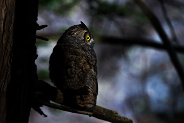 Great Horned Owl At Dusk In Big Sur Photograph for Sale as Fine Art