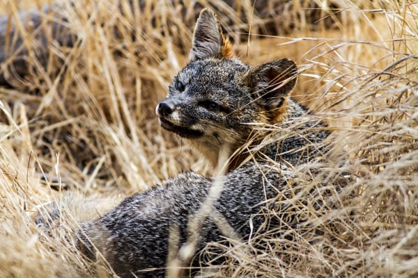 Santa Cruz Island Fox In Grass Photograph for Sale as Fine Art
