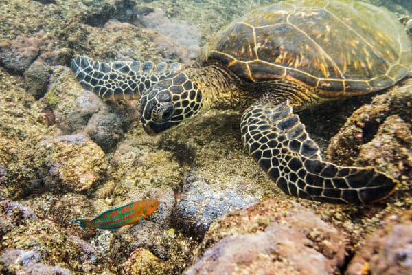 Hawaiian Green Sea Turtle Eating In Kahalu'u Bay Photograph for Sale as Fine Art
