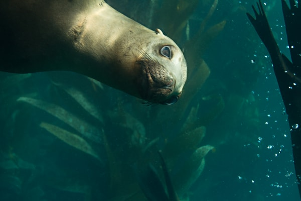 California Sea Lion Photograph for Sale as Fine Art
