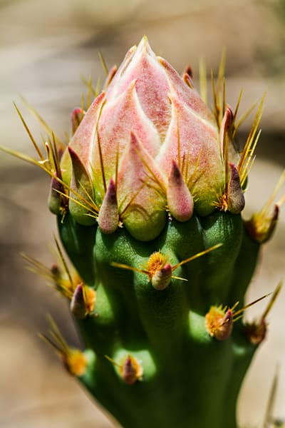 Prickly Pear Cactus Flower Bud In Joshua Tree Photograph for Sale as Fine Art