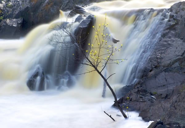 A tough tree in Jay Cooke State Park