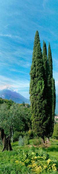 Cypress Trees - Varenna - Italy