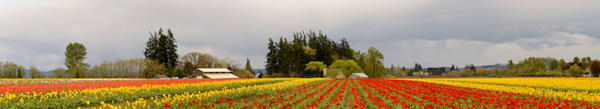 a panorama of the woodburn, oregon tulip fields in 2015