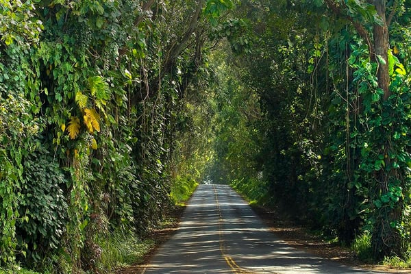 Tree Tunnel road to Koloa | Kauai fine art photography, Hawaii