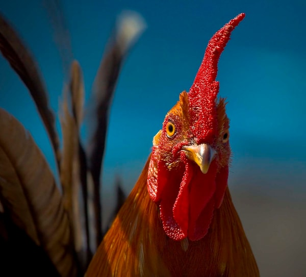 Rooster Stare Down | Kauai Fine Art Photography, Hawaii