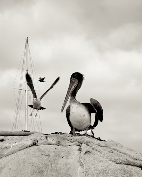 Pelican with Gull