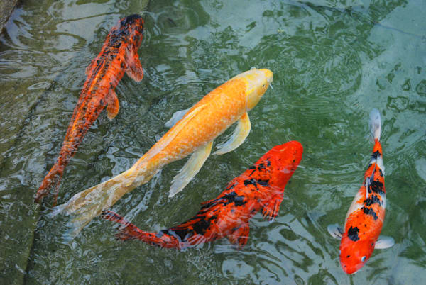 Koi Pond Photographic Art - Fishy Foursome