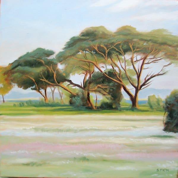 Sunset acacias