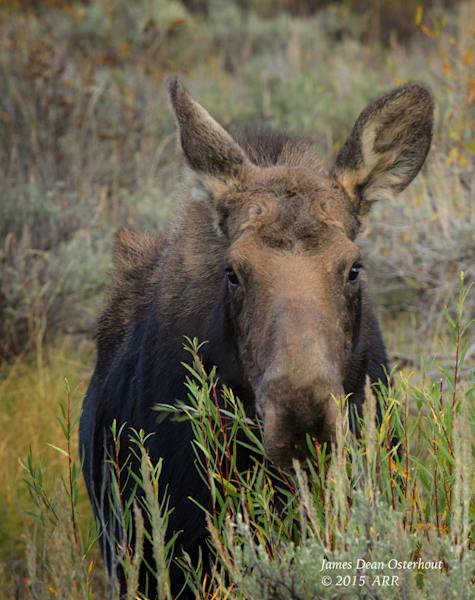 wildlife,moose,calf