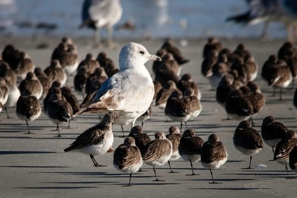 Ring-Billed Gull and Sanderlings