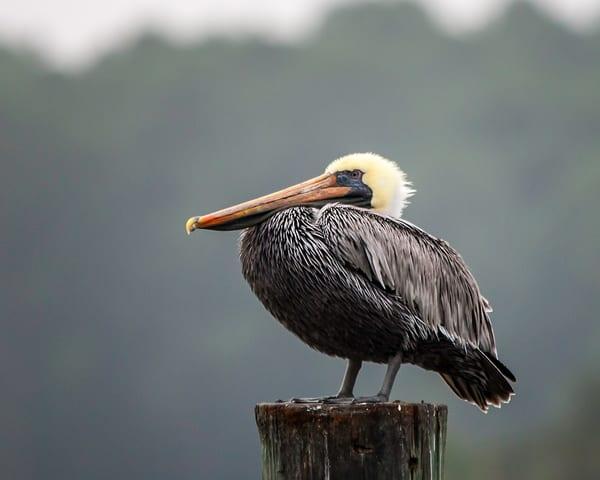 La Pelican