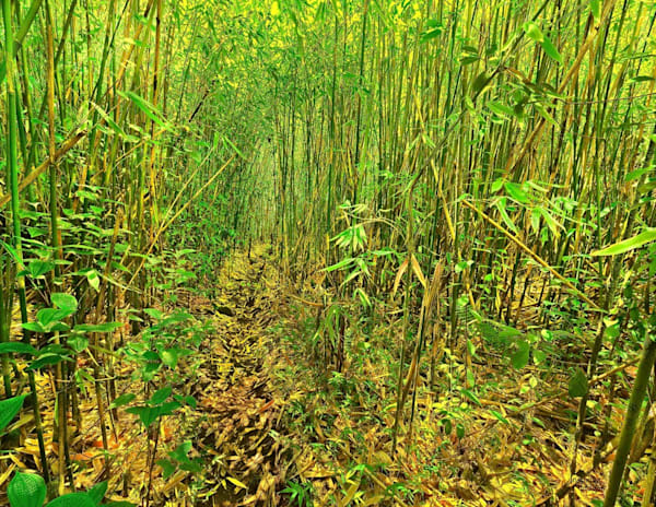 Trail Through Bamboo Forest | Kauai Fine Art Photography, Hawaii