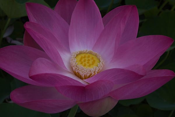 Lotus Flower in Full Bloom | Kauai Fine Art Photography, Hawaii