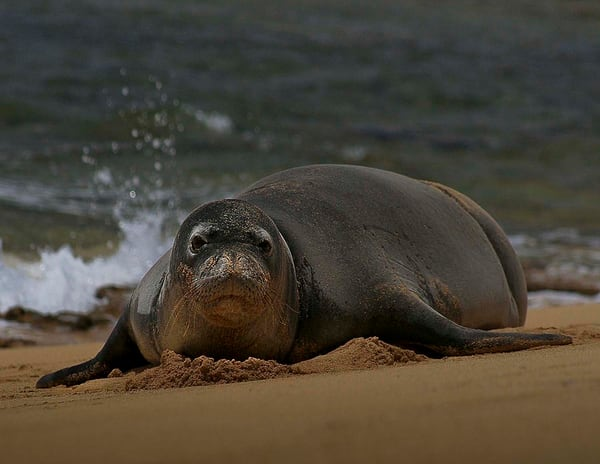 Monk Seal | Kauai Fine Art Photography, Hawaii