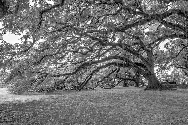 Black and White Oaks