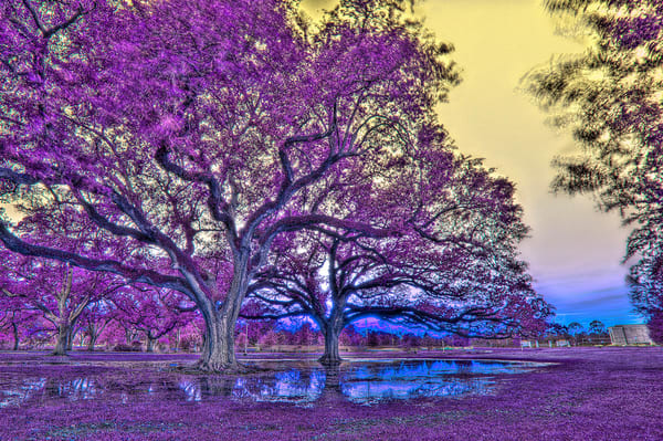 Purple Oaks