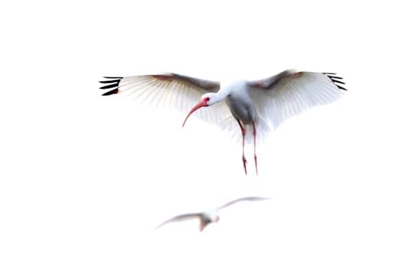 8995 Ibis White  Art | Cunningham Gallery