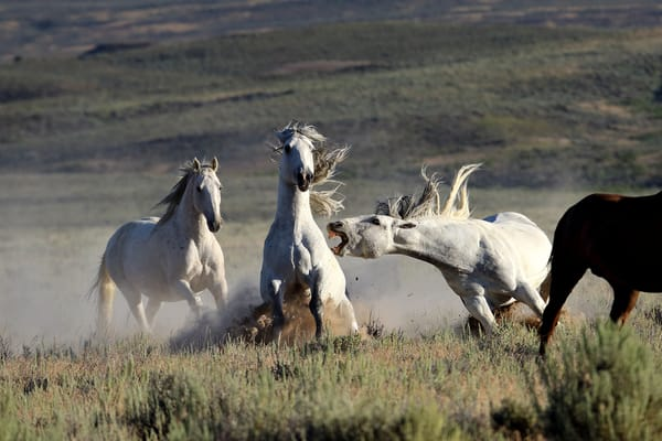 0739-Wild Mustangs-Sand Wash Basin-Colorado