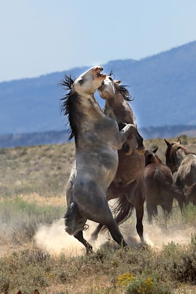 0913-Fighting Wild Mustangs-Sand Wash Basin