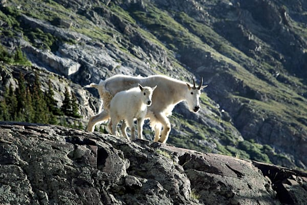 5920-Mountain Goat and baby