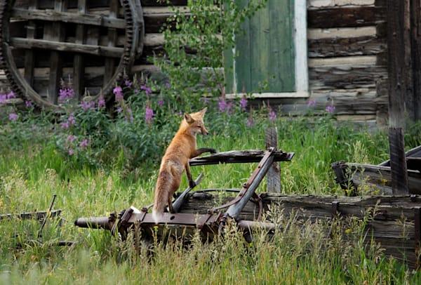 7027-Fox