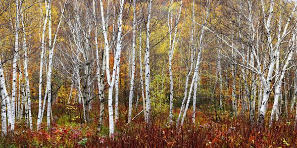 1645 Fall Birch Art | Cunningham Gallery