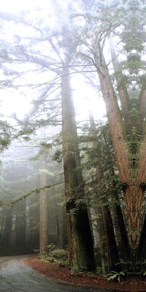 Redwood Trees Art | Cunningham Gallery