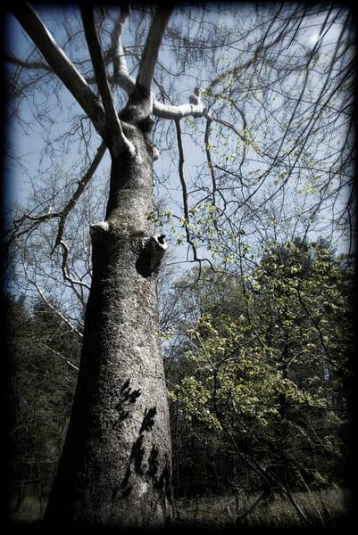 Hoya Tree