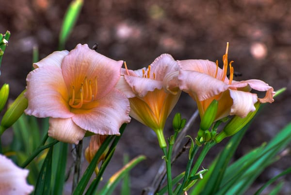 Peach Lillies