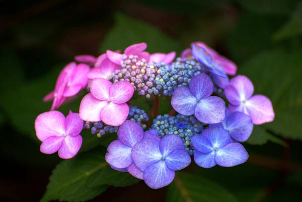 Purple Hydrangea's