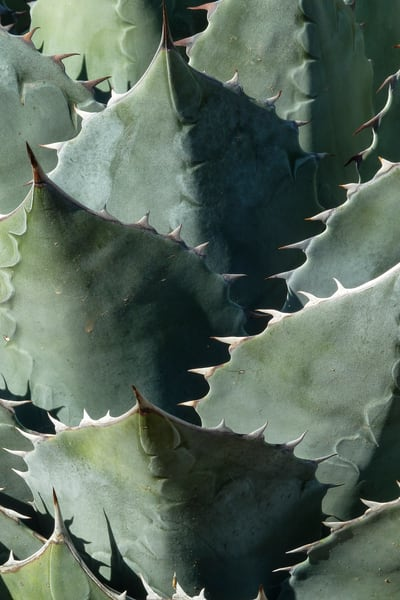 Phoenix, Arizona; a detail view of the texture and pattern of an Agave cactus