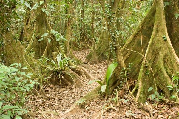 Cockscomb Basin Wildlife Sanctuary, Belize, Central America; Kaway swamp trees (Pterocarpus officinalis) along the Wari Loop of the Cockscomb Jaguar Preserve