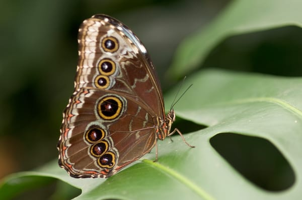 La Guacima de Alajuela, Costa Rica; a Blue Morpho Butterfly (Morpho peleides) sits on a leaf