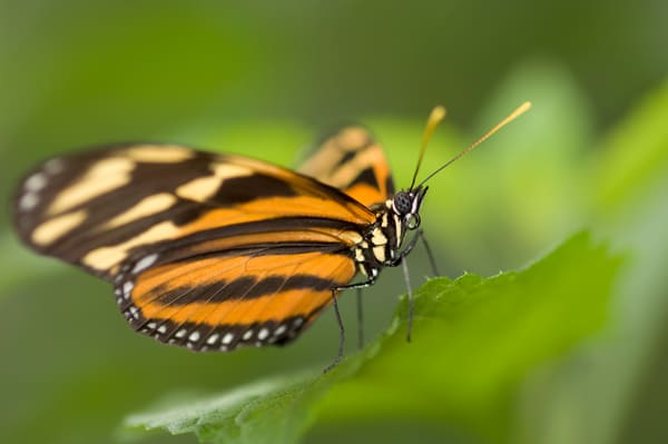La Guacima de Alajuela, Costa Rica; an Isabella's Heliconian butterfly (Eueides isabella) sits wings spread on a leaf
