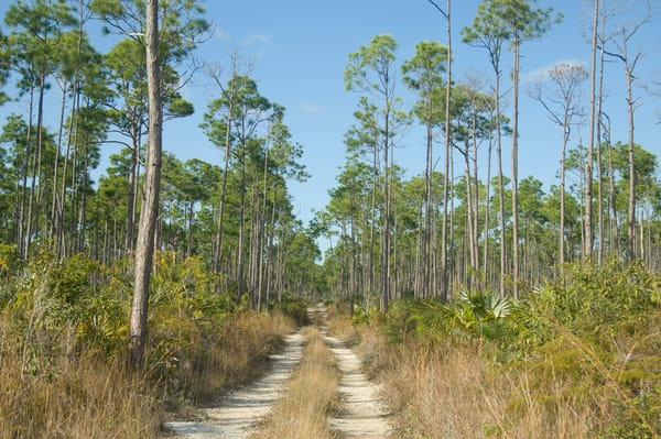 Grand Bahama Island, The Bahamas; Caribbean Pine (Caribaea vs bahamensis) trees and Sabal Palmetto (Cocothrinax argenta) plants line the Old Freetown Road, a two track dirt road that has since been replace by the paved Grand Bahama Highway