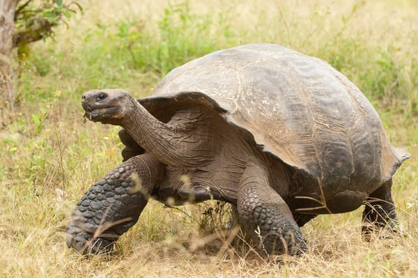 Rancho Primicias, Santa Cruz Island, Galapagos, Ecuador; a Galapagos Giant Tortoise (Geochelone elephantopus) walking across a field, Rancho Primicias is a working farm that allows tourists to view Galapagos Giant Tortoise (Geochelone elephantopus) l