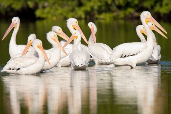 Ding Darling National Wildlife Refuge, Sanibel Island, Florida; several American White Pelican (Pelecanus erythrorhynchos) birds in the shallow water of the refuge