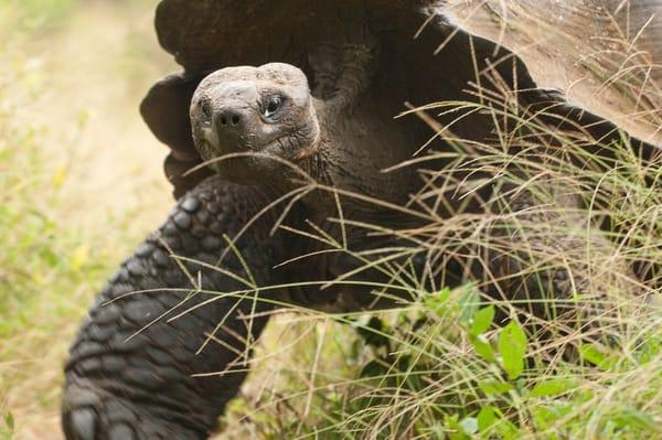 Rancho Primicias, Santa Cruz Island, Galapagos, Ecuador; a Galapagos Giant Tortoise (Geochelone elephantopus) walking through tall grass in a field, Rancho Primicias is a working farm that allows tourists to view Galapagos Giant Tortoise (Geochelone