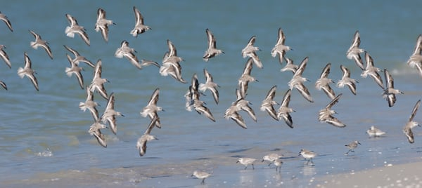 Sanibel Island, Florida; a flock of Sanderling (Calidris alba) birds in flight at the water's edge, Gulf of Mexico