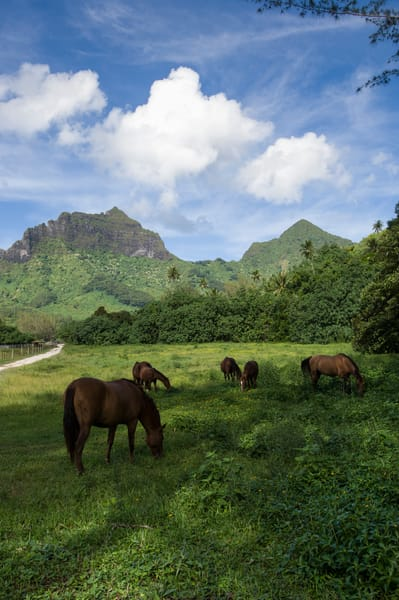 Moorea, French Polynesia; horses on ranch off the road to Belvedere overlook