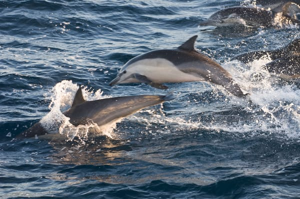 Common Dolphin (Delphinus capensus) long beaked