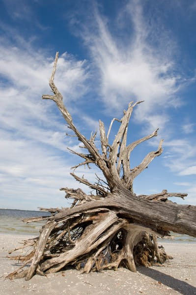 Sanibel Lighthouse Beach, Sanibel Island, Florida; fallen tree with exposed roots on the beach