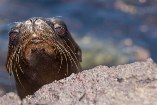 South Plazas Island, Galapagos, Ecuador; a very young Galapagos Sea Lion (Zalophus wollebaeki) peeks it's head over the volcanic rock for a look at the strange creature with the camera
